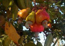 Gyümölcsös játék